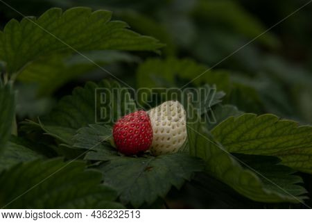 Bush Of Fresh Red And White Strawberry, Strawberry Fruits In Growth At Garden, Process Yield Organic