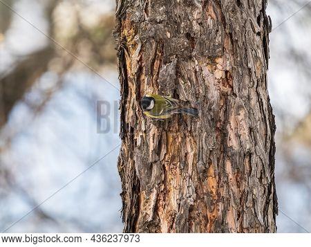 Cute Bird Great Tit, Songbird Sitting On The Tree Trunk. Parus Major