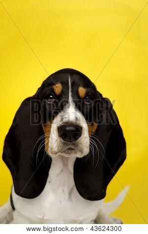 Basset Hound Puppy On A Yellow Background