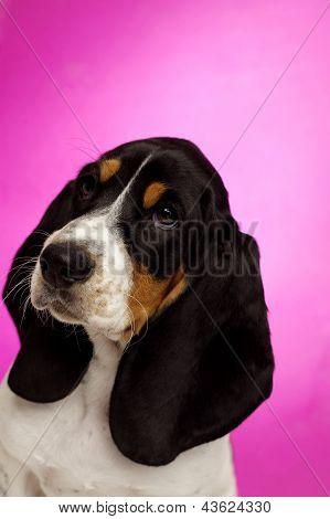 Basset Hound Puppy On A Pink Background