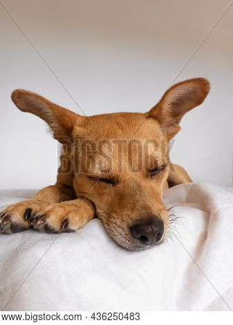 A Cute Mixed-breed Dog With Ears Up Sleeping Comfortably On A Soft White Blanket. Close-up On Dog's