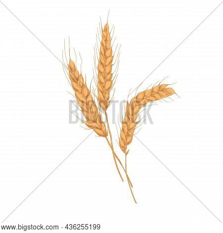 Wheat Spikelets With Ears, Grains, Stems And Spikes. Realistic Drawing Of Agriculture Cereal Crop, F