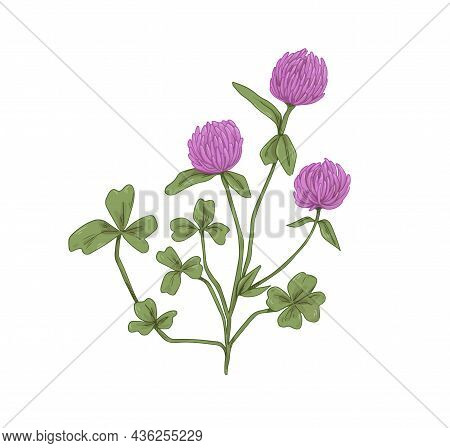 Clover Flowers. Botanical Drawing Of Realistic Trifolium Pratense. Wild Floral Plant With Trefoil Le