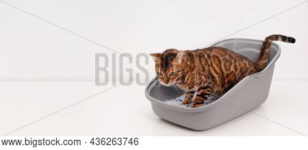 Smart Brainy Purebred Bengal Cat Pee Or Poop Inside Clean Litter Box Or Pet Toilet Indoors On White