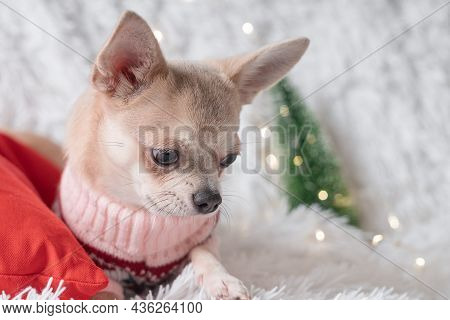 Cute Little Christmas Dog Chihuahua Dog In Sweater Lies On A Blanket