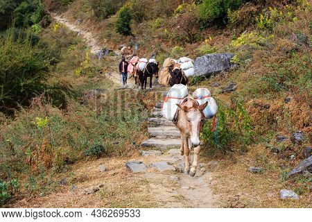 Ghorepani, Nepal - November 12, 2018: Caravan Of Laden Mules Follows The Himalayan Path. Nepal, Hima