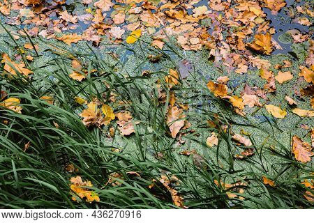Fallen Yellow Leaves Lie On Grass And Surface Of Lake Water. Autumn Leaf Fall, October. Selective Fo