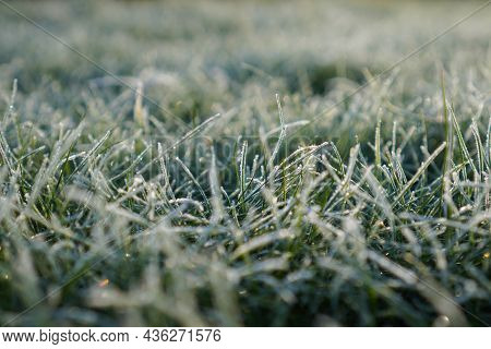 Leaves And Grass Covered With Frost And Snow In The Early Morning. Frosty Grass Background