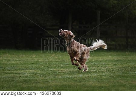 English Red And White Setter Does Sports On Warm Summer Day Outdoors In Park On Green Meadow. Britis