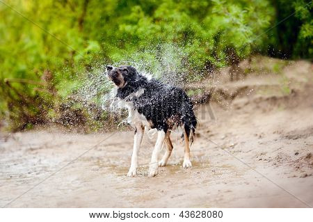 Border Collie Dog Shakes