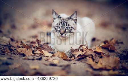 Portrait Of A Thai Cat In Nature. A Thai Cat Walks In Autumn Leaves. A Lost Cat With A Striped Muzzl