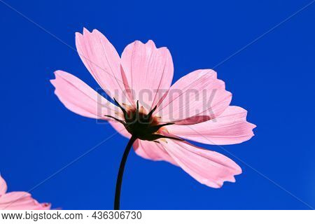 Amazing View Of Blooming Cosmos Bipinnatus(garden Cosmos,mexican Aster) Flower,close-up Of Beautiful
