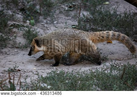 Coati. Mammal And Mammals. Land World And Fauna. Wildlife And Zoology. Nature And Animal Photography
