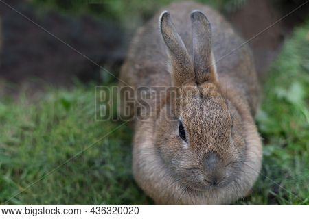 Close-up Gray Domestic Rabbit On Natural Background, Farm, Domestic Animals