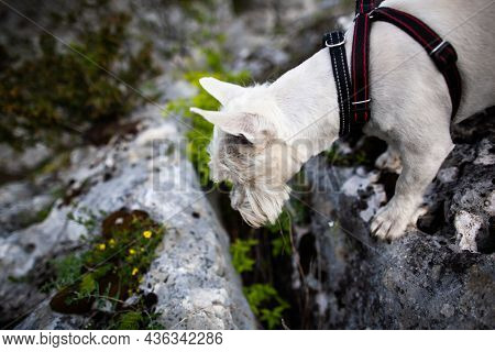 West Highland White Terrier Dog On Rocks Looking Down At Something | Photo From Above Of Westie In D