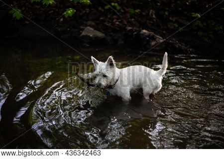 West Highland White Terrier Dog Playing With The Stick In River | White Dog Holding Stick In Mouth S