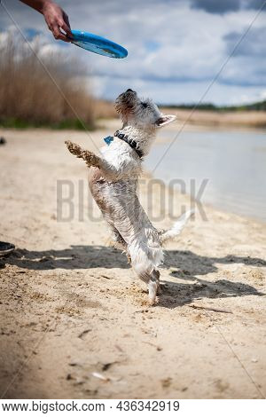 West Highland White Terrier Dog Playing With Flying Disc And Fetching On A Beach   Small White Terri