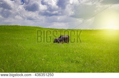 Calf In The Field Eating Grass, A Calf In A Green Field With Blue Sky And Copy Space, A Green Field