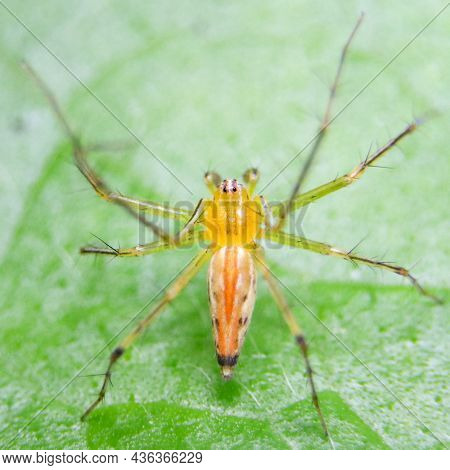 Macro Shot Of The Top View Of An Orange, Striped Lynx Spider Standing On A Green Leaf During Bright