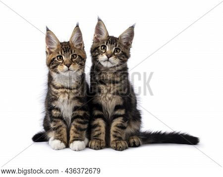 Two Adorable Maine Coon Cat Kittens, Sitting Beside Each Other. Both Looking Towards Camera. Isolate