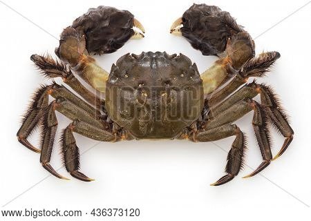 Japanese mitten crab. This crab is the same kind of crab as the Shanghai hairy crab.