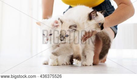 Owner girl holding with her hands three adorable white ragdoll cats on white background. Lovely fluffy purebred feline family outdoors together