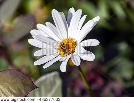 Babbler Fly Collects Nectar From The Chamomile Flower. Fly Mimicking Stinging Insect From The Family
