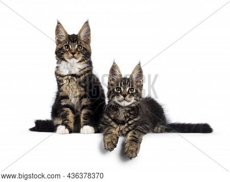 Two Adorable Maine Coon Cat Kittens, Sitting And Laying Beside Each Other On Edge. Both Looking Towa