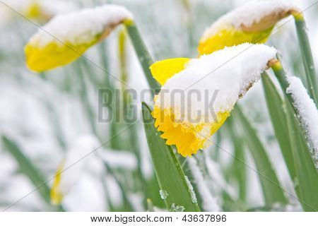 Daffodils In The Spring Snow