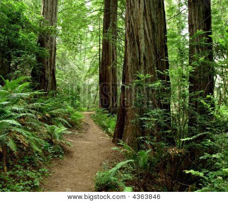 Hiking Path Through The Redwood Forest
