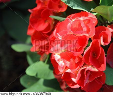 Crown Of Thorns Flowers : Euphorbia Milli Desmoul