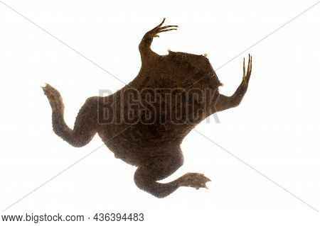 A Strange Surinam Toad On White Backround