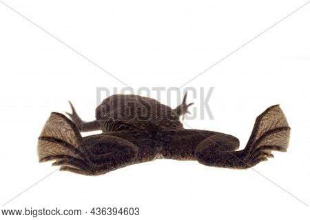 A Carvalhos Surinam Toad On White Background
