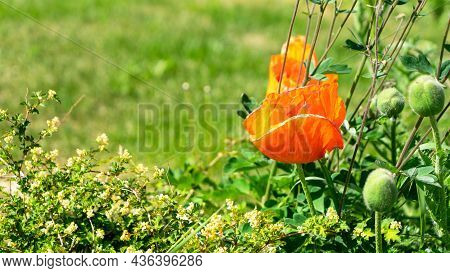 The Orange Papaver Or Poppy Grows In A Garden Or Meadow Among Other Plants. The Concept Of Gardening