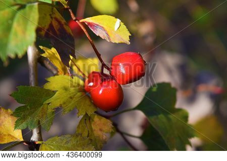 Red Berries In Autumn Garden. Red Fruits Of Crataegus Monogyna, Known As Hawthorn Or Single-seeded H