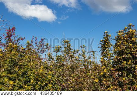 Yellow And Pink Flowers Blooming On Shrubs Against A Blue Sky On A Sunny Day In Springtime