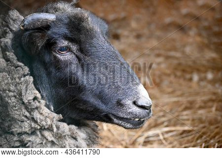 The Muzzle Of A Cute Domestic Sheep With Dark Brown Fur In An Aviary On A Farm Close-up. Artiodactyl