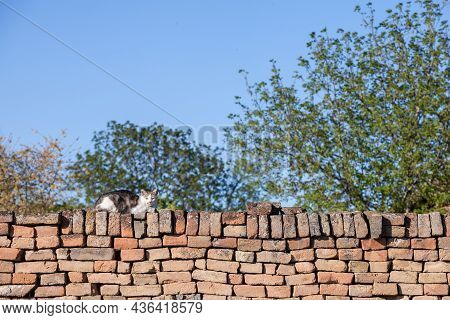 Curious Stray White And Tabby Bicolor Cat, Standing At The Top Of A Wall, Looking And Staring At The