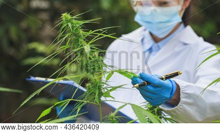 Cannabis Research Scientists Examine And Analyze Hemp Plants. Sign The Results With A Laptop In The