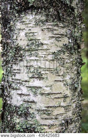 Birch Trunk. Tree Bark Close-up. Birch Trunk. Tree Bark Close-up.