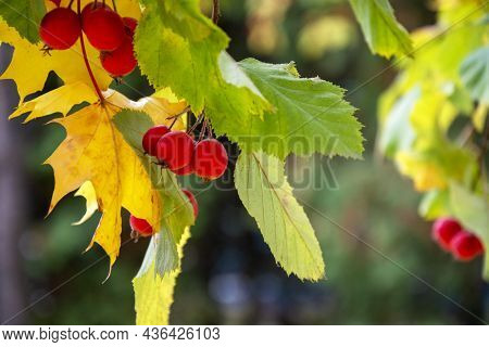 Hawthorn On A Blurred Background. Natural Background With A Green Branch With Berries.