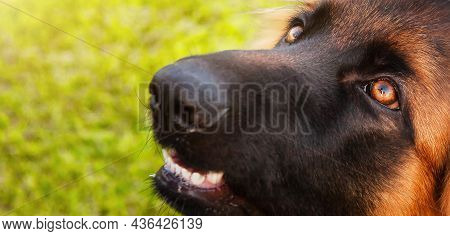 A Portrait Of A Charming German Shepherd Dog, Close-up Of Devoted Eyes In Which The Owner Is Reflect