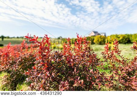 Beautiful Scenic Bright Landscape View Of Colorful Red Barberry Thunberg Bushes Growing At Ornamenta