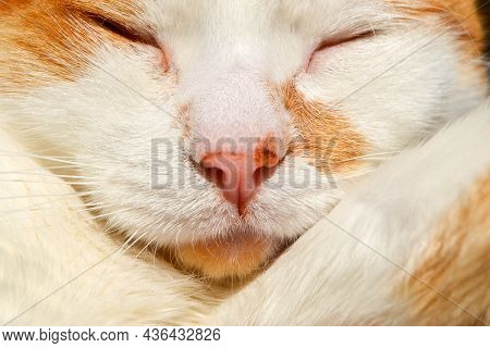 Red Cat With White Spots Sleepy. The Close Up View Of Relax Red Cat. The Red Stripped Kitten Is Play