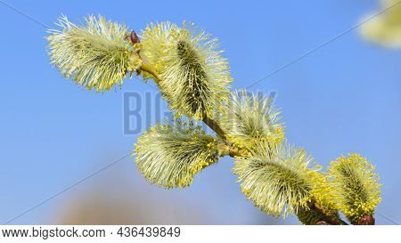 Close Up Of Goat Willow Blossom, Yellow Pollen Covered Catkins, Spring Willow Blossom Causing Allerg