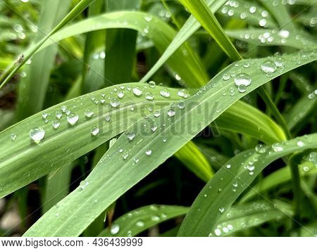 Fresh Green Grass With Rain Water Drops. Summer Nature Background. Nature Scene With Droplets On Gre