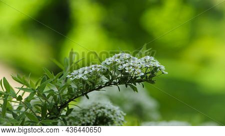 Spiraea. Close-up Of Garden Flowers Spiraea Flower. White Spiraea Flower, Or Gray. Macro Photo Of Na
