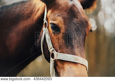 A Close-up Portrait Of A Bay Beautiful Cute Colt With A Halter On His Muzzle. Livestock And Agricult
