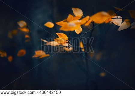 Bright Yellow Leaves Are Swaying In The Wind On Thin Dark Branches In The Evening Twilight Of Autumn