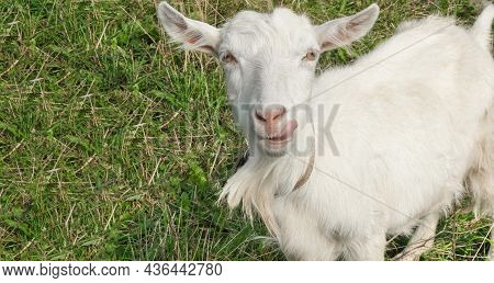 Funny White Young Goat Outdoor In Summer, Looking At Camera, Showing Tongue On Green Grass Meadow, C